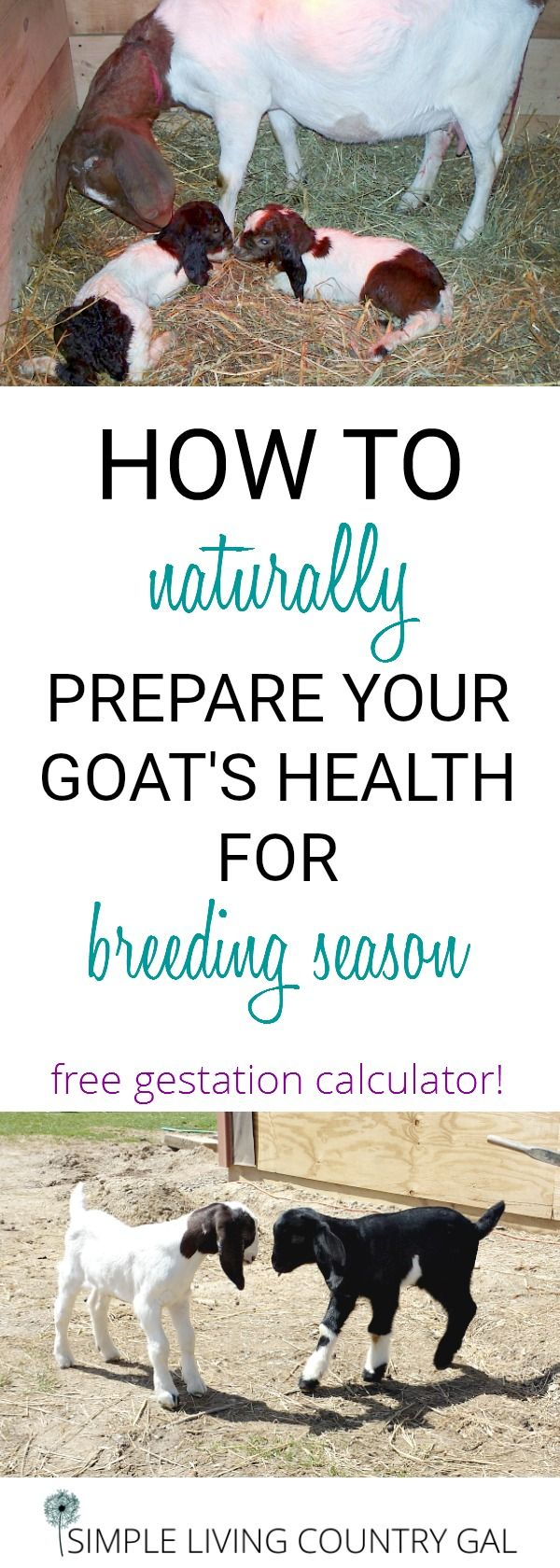 Use these natural tips to make sure your goats are in good health and able to handle the stress of breeding season. Free Gestation Calculator!  via @SLcountrygal