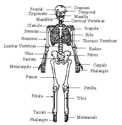 Skeletal system – labeled diagrams human skeleton, The skeletal system includes bones joints