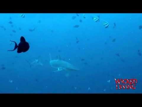 Komodo Diving - Reef sharks