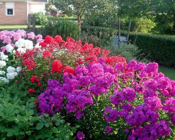 17 Best 1000 images about Gardening Phlox on Pinterest Gardens Pink