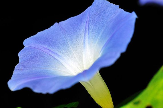 Heavenly Blue Morning Glory 150 Seeds  Ipomoea by EarthCareSeeds, $1.65
