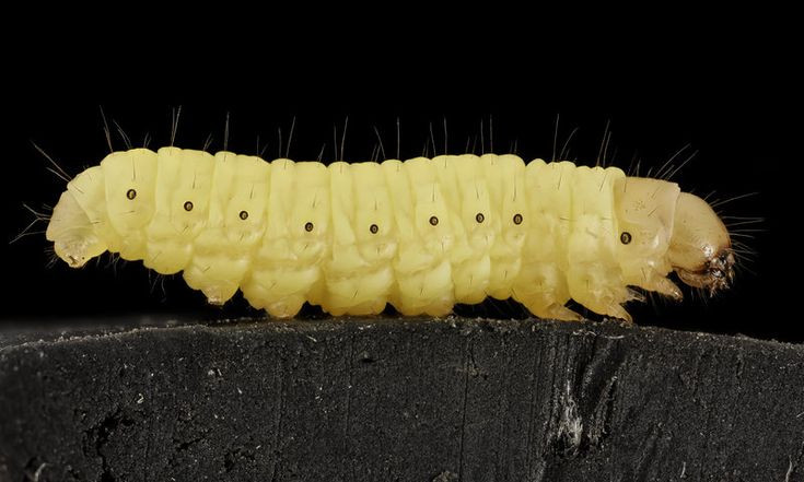 The larvae of Galleria mellonella, commonly known as a wax worm, is able to biodegrade plastic bags.  Wayne Boo/USGS Bee Inventory and Monitoring Lab The Lowly Wax Worm May Hold The Key To Biodegrading Plastic : The Two-Way : NPR   The larvae of Galleria mellonella, commonly known as a wax worm, is able to biodegrade plastic bags.  Wayne Boo/USGS Bee Inventory and Monitoring Lab