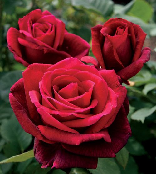 Mister Lincoln- Hybrid Tea Rose= Many Rose experts consider this the best
