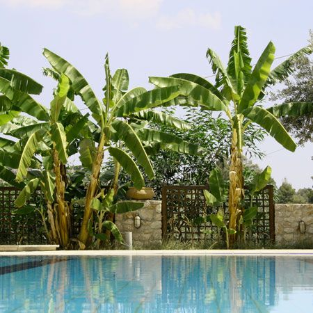 This Banana Tree Laughs at the Cold -  When I think of the tropics, I think of banana trees. And these big, lush beauties give that tropical feel to any landscape.  But the hardy Basjoo can also take winter temperatures down to -20° F when properly mulched.   In fact, its the cold hardiest banana tree you can find......