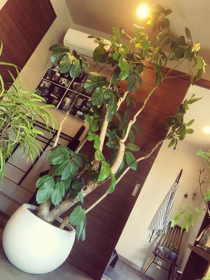 インテリアの画像 by COZYの庭さん | インテリアとツピタンサスとマイ・コレクションと観葉植物とシンボルツリーとグリーンのある暮らしコンテストと春到来!