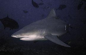 SharkSchool™ mit Dr. Erich Ritter in Pensacola, Florida 2018 - Sandbankhaie, Bullenhaie und das größte Schiffswrack der Welt #sharkschool #drerichritter #pensacola #florida #sandbankhai #bullenhai #schiffswrack #interaktion #hai #spektakel #wirodive #tauchreisen #erlebnisreisen #scubakids #born2dive #oceanlovers #touchedbynature