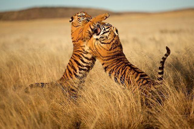 싸우는 호랑이들 #동물 #동물원 #animals #cyberzoo #zoo #호랑이 #tiger