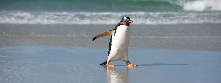 Pingvin 4.0 Coming