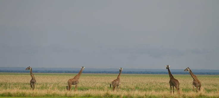 A journey of #giraffe | Holidays in Tanzania | Mbali Mbali Lodges and Camps