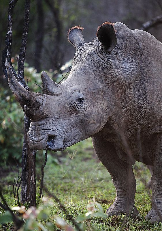 ˚White Rhinoceros or Square-lipped rhinoceros / Breitmaulnashorn (Ceratotherium simum) - South Africa
