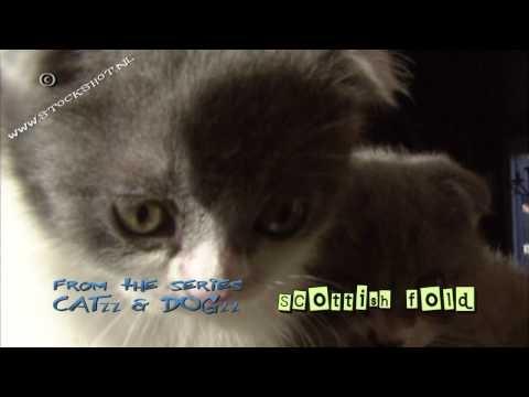 "Scottish Fold & kittens  Scottish Fold & kittens - Schotse vouwoorkat - Schottische Faltohrkatze    Broadcast format available at: http://www.stockshot.nl/ - Music title nothing broken by Kevin MacLeod (incompetech.com) licensed under Creative Commons ""Attribution 3.0"""