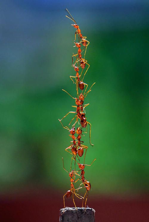 The importance of teamwork.The insects were caught on camera forming a tower to reach the top of a bird cage they were being kept in. Source:Escape ants are a tower of strength (Daily Express)