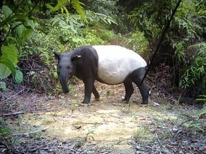 A Tapir photographed by a camera trap in Malaysia. A £2m scheme to create 10 new 'bio-bridges' which link up areas of rainforest to help wildlife has been launched by the Body Shop