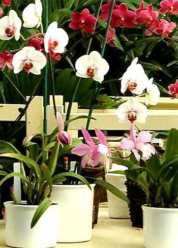 Orchid Care for Hydroponic Orchids- keep your orchids healthy with lots of tips from hydro-orchids.com