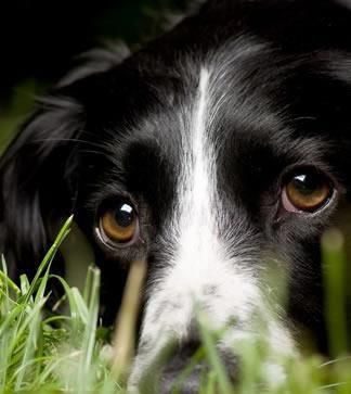 Eyes of love, nothing like a border collie.
