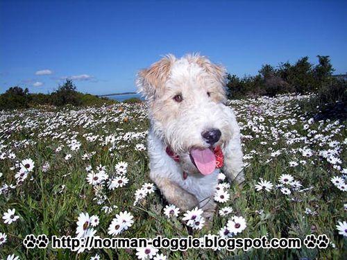 Wire Fox Terrier : Norman playing in the flowers in Langebaan