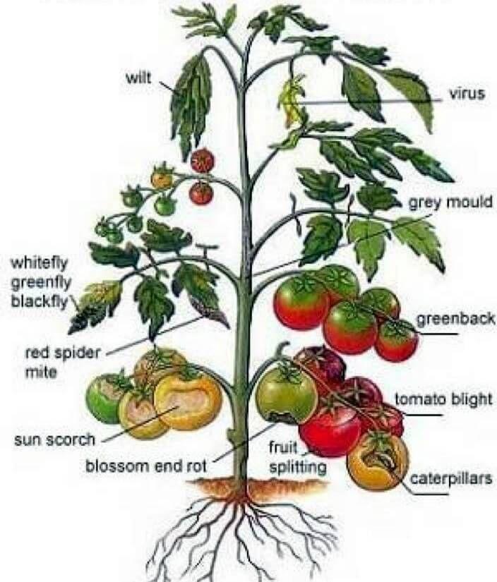 hand drawn chart of tomato ailments