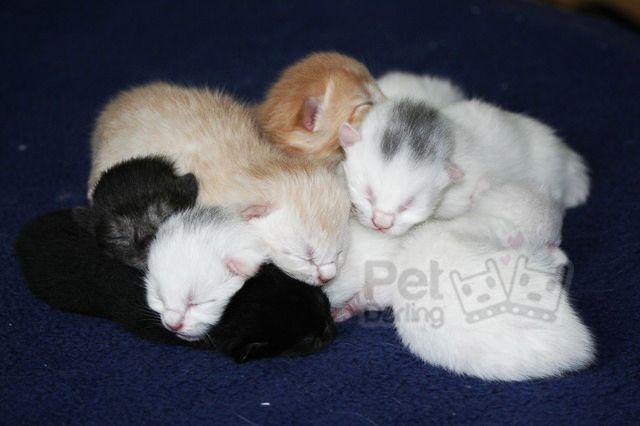 Como saber si una gata esta embarazada si aun no tiene barriga - PetDarling