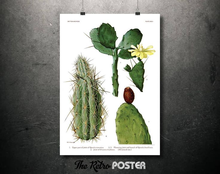 Kitchen Decor - Cactaceae - Britton and Rose, Plate 33 - Plant, Plants, Plant Print, Nature Prints, Botanical Poster Vintage, Kitchen Gifts by TheRetroPoster on Etsy