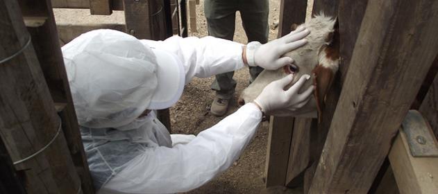 Está en marcha la primera campaña de vacunación contra la fiebre aftosa de 2013)
