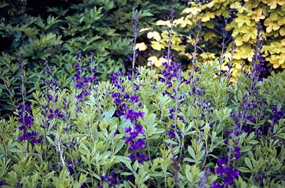 Baptisia australis - large hummock of blue with a lovely silvery leaf. 1.5m dome. Sun
