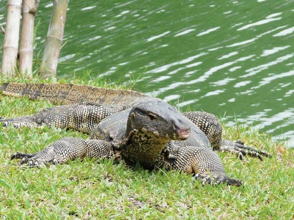 12 best images about Asian water monitor lizard on ...