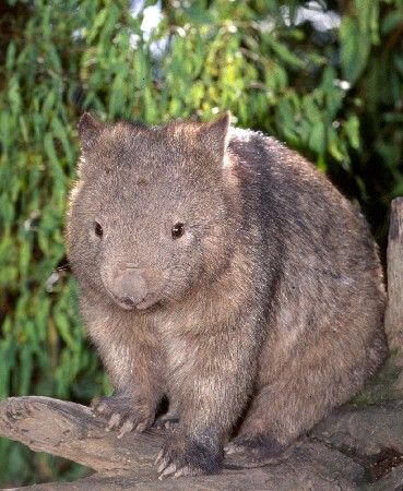 Northern Hairy-nosed Wombat by Jena Gouger on Prezi