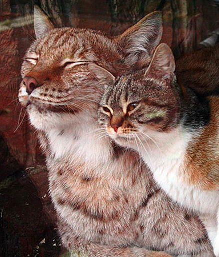 A Stray Cat Broke Into a Zoo And Became BFFs With A Lynx