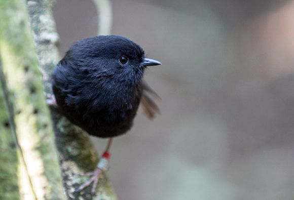 The recovery of the Chatham Islands black robin from the brink of extinction is an internationally renowned conservation success story.  In 1980 there were only 5 black robins in the world, with just a single breeding pair left. A desperate and innovative management regime was quickly put into action that resulted in a successful population turnaround. In early 2013, the population stands at around 250. Numbers remain stable, but still classified as critically-endangered.