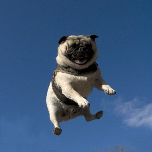 Pug on a trampoline.