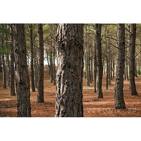 【veronik_sp】さんのInstagramをピンしています。 《Mar de las Pampas. Provincia de Buenos Aires. #лес, #деревья #сосны #природа #ствол #спокойствие #хвойный #森 #木 #松 #自然 #トランク #平和#静けさ#針葉樹の #forest#trees#pines #nature #trunk#peace#tranquility #coniferous #🌲#🌳》