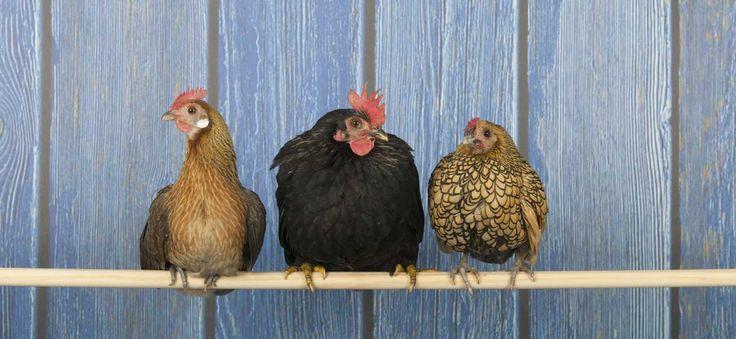 La poule étant omnivore, son alimentation peut être très variée mais doit avant tout être équilibrée: conseils de choix - Tout sur Ooreka.fr