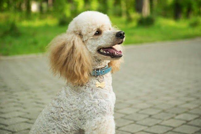 Psy rasy Pudel