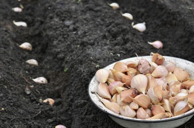 Czosnek sadzi się do gleby jesienią lub wiosną