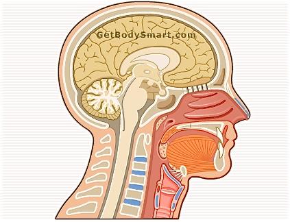 Vocal anatomy diagram