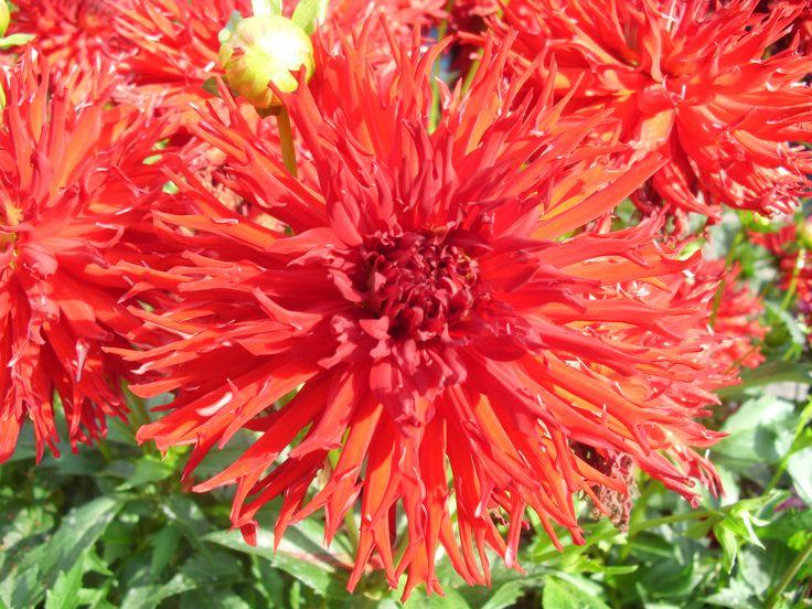 Mum flower in Paris