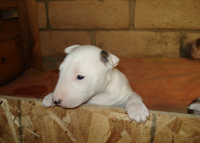 bull terrier puppies price $ 2500 seller miniature bull terrier ...