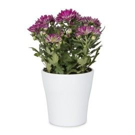 Chrysanths in Ceramic | Woolworths.co.za