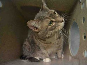 PRETTY – A1117213 - 10yrs SWEET SPAYED FEMALE, GRAY TABBY / WHITE - PRETTY was owner surrendered because owner states she is urinating on furniture and sheds too much; previously adopted from ASPCA. PRETTY may have a medical issue and should have been to a vet not taken to the shelter. Please help PRETTY by welcoming her into your home.