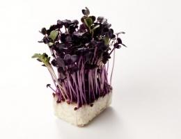 Red Radish cress is een knapperige cress soort en heeft een kruidige, peperige en radijsachtige smaak. De cress is goed te gebruiken in een salade, bij visgerechten, in vegetarische maaltijden en ook bij Japanse gerechten.    Artikelnummer: 142140    Per stuks   Per doos 12 stuks