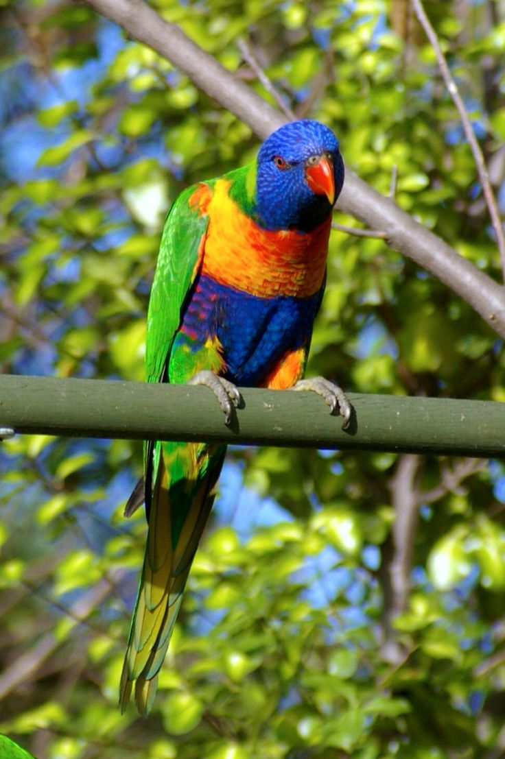 Visitors to my garden 6. Lorikeets stop by for a feed. Noisy, garrulous and funny.
