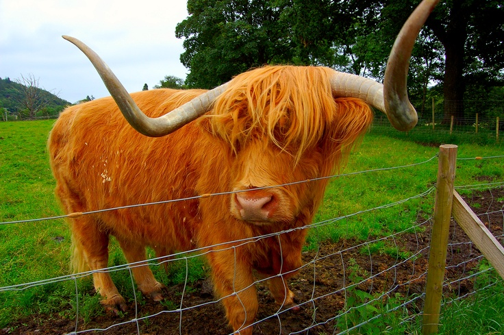 The first Emo cow from Scotland...