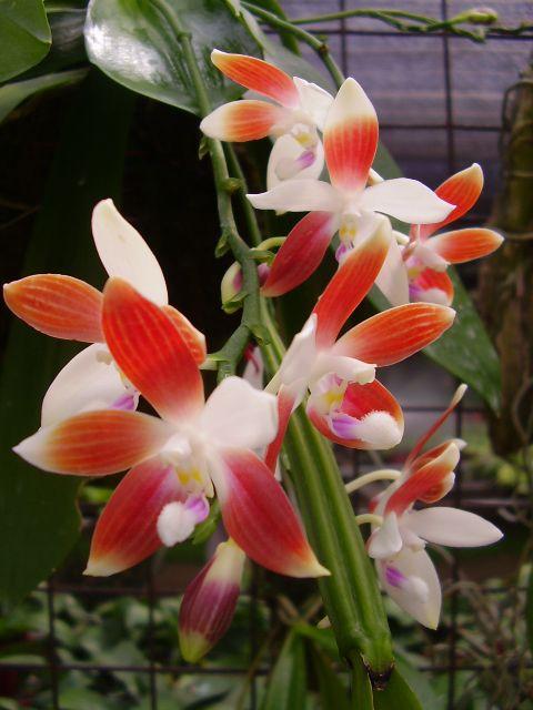 Phalaenopsis speciosa .. very unique and gorgeous