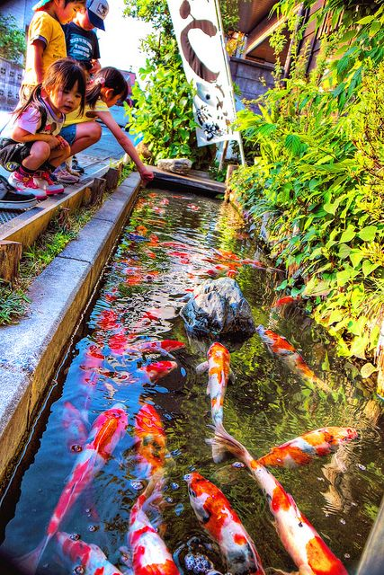 "I love koi ponds!   the word ""Koi"" was first used about 2,500 years ago in China. Koi are believed to have been introduced to Japan with the invading Chinese and according to Koi fish history the first account of them being kept by an emperor in Japan dates back to AD 200.    The Japanese were the first in Koi fish history to take the naturally occurring mutations and develop them further."