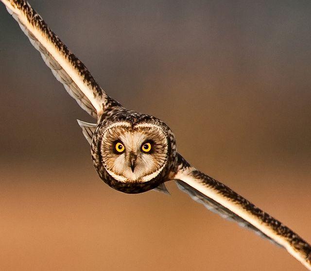 short eared owl -  http://www.allaboutbirds.org/guide/Short-eared_Owl/id  http://en.wikipedia.org/wiki/Short-eared_Owl