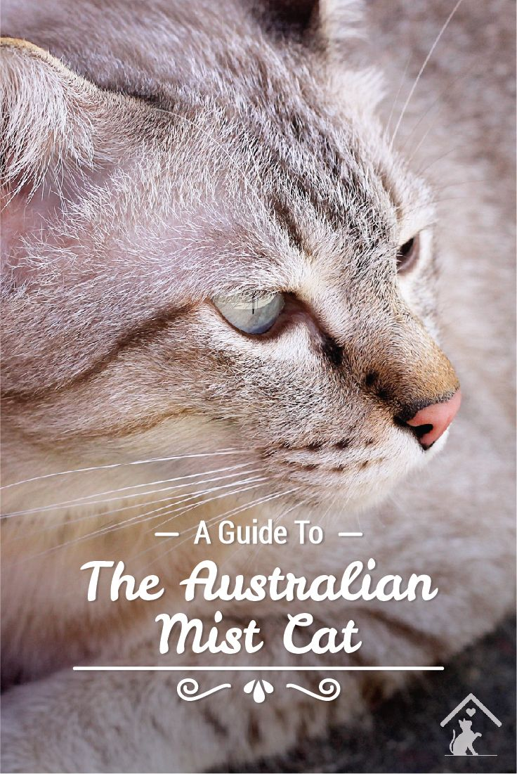 Australian Mist cats are easy going and playful! Click the pin to read our guide.