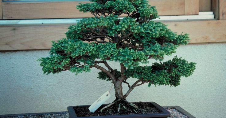 É possível manter um bonsai cipreste pequeno?. Um símbolo do homem em harmonia com a natureza, a árvore bonsai está profundamente enraizada na cultura asiática. Curiosamente, se deixados sozinhos, árvores bonsai podem chegar a 3 metros, e a mais antiga coleção de bonsai conhecida tem mais de 300 anos. A chave para manter um bonsai pequeno é cortá-lo e transplantá-lo regularmente, e se você ...