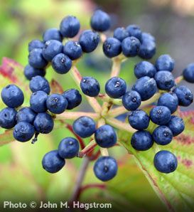 Arrowwood viburnum berries in the fall. Grows 6-15 ft high with a comparable spread.
