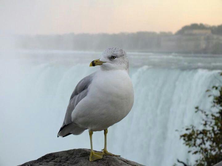 Sea Gull at Niagara Falls