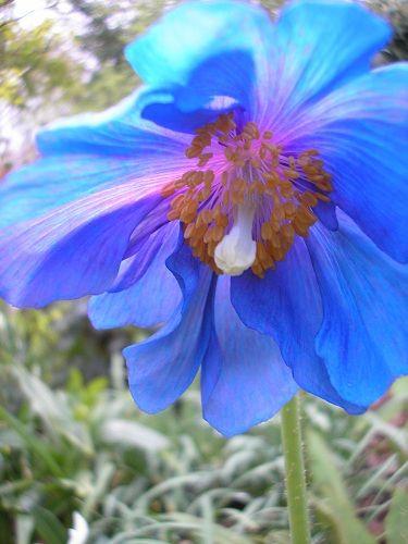 Himalayan Blue Poppy Bouquet 68 best Poppy &...